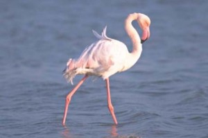 flamenco_pink1-4